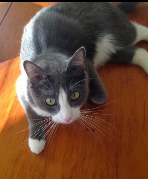 Cute tuxedo kitty