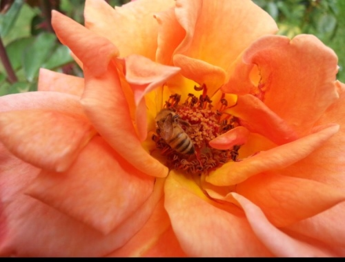 Peach rose bee