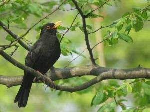 Blackbird crow tree green morning