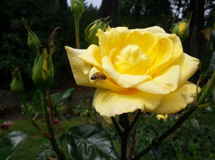 Yellow rose and bee