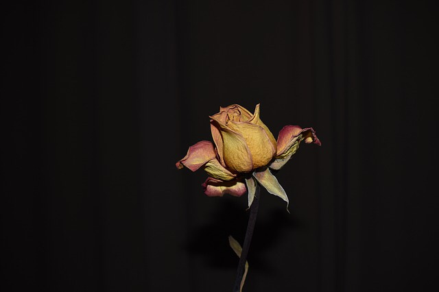Dying rose in the dark