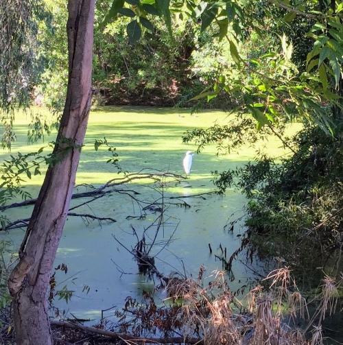Bird at algae covered pond