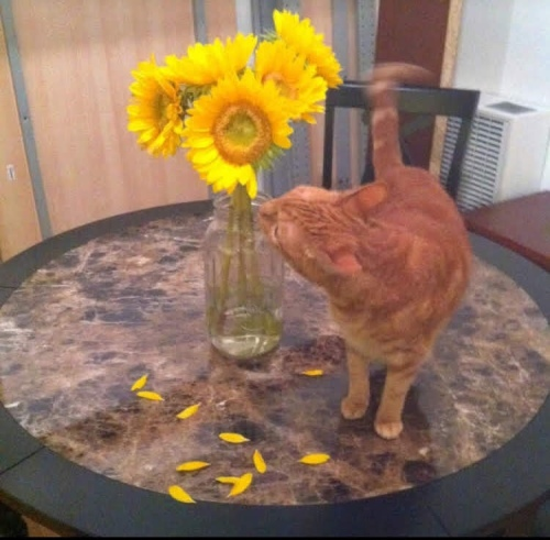 Kitty eating sunflowers