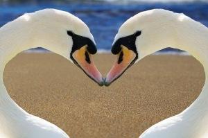 Swans love bonded