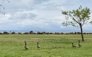 Alameda geese