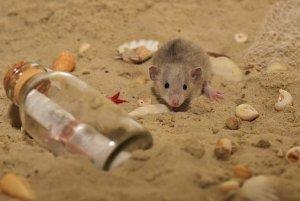Sand bottle message rat